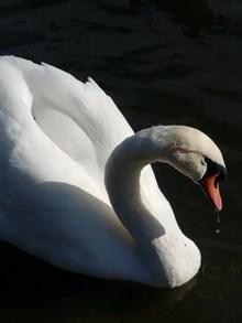 游水白天鹅高清图