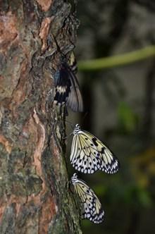 黑色斑点蝴蝶精美图片