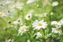清新小雏菊精美图片