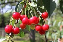 成熟樱桃水果图片下载