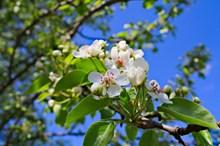 白色苹果花朵摄影图片大全