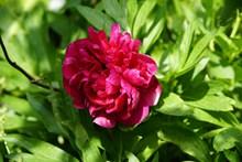 大红色牡丹花朵图片大全