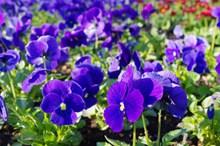 三色堇鲜花绽放图片下载