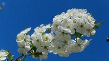 樱花枝洁白樱花高清图片