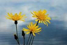 黄色野菊花图片大全