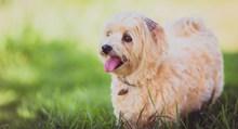 米色狗狗图片素材