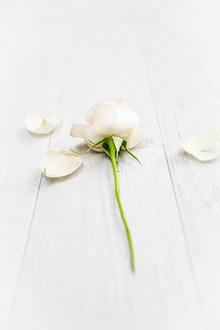 一枝白色玫瑰花图片下载
