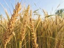 泛黄小麦麦穗图片大全