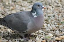 一只漂亮灰色鸽子高清图片