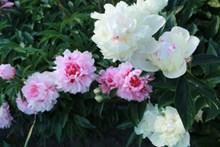 清新粉红色牡丹花高清图片