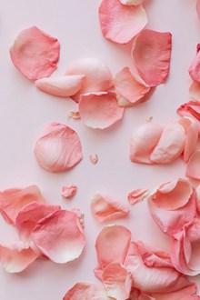 粉色玫瑰花花瓣背景图片大全