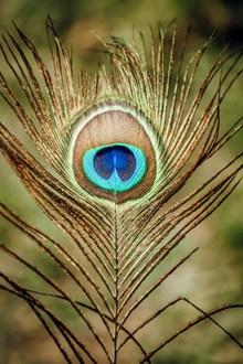 棕蓝孔雀羽毛高清图片