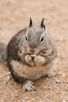 萌萌哒的灰松鼠高清图