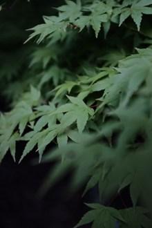 绿色枫树叶子高清图片