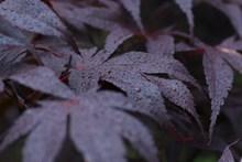 雨后紫色嫩枫叶图片素材