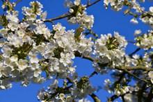 樱花枝白色樱花开花图片大全