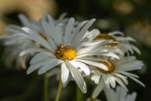 白色雏菊花花朵精美图片