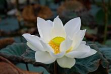纯白色荷花花朵图片下载