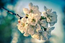白色苹果花枝花朵图片大全