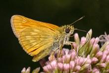 黄色毛绒蝴蝶精美图片