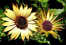 黄雏菊花朵高清图