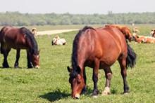 牧场红棕色马匹高清图片