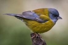 一只黄色麻雀精美图片