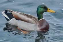 湖面一只绿头鸭图片大全