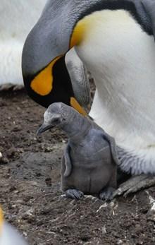 刚出生的小企鹅图片下载