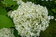 米白色绣球花图片下载
