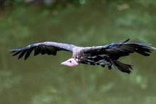 兀鹫猛禽展翅图片大全