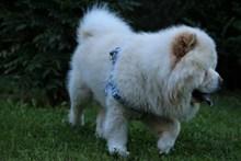 白色松狮犬狗狗图片下载