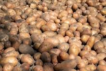 土豆大丰收高清图