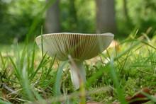 草地漂亮白蘑菇图片下载