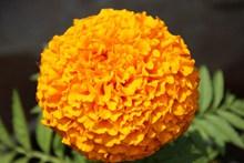 万寿菊灿烂花朵图片素材