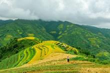 稻谷成熟梯田景观高清图片