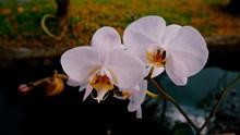 白色蝴蝶兰开花图片下载