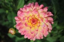漂亮粉色大丽花高清图片