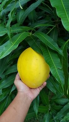 黄色成熟香瓜图片下载