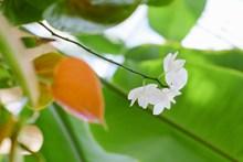 白色茉莉花朵图片