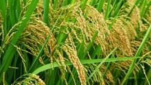 水稻谷物成熟图片下载