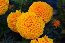 橙色菊花花朵图片下载