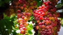 美味葡萄成熟图片素材