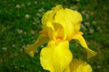黄色鸢尾花花朵图片大全