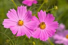 格桑花花朵绽放图片
