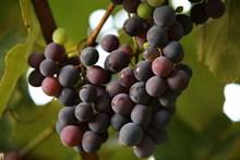 新鲜黑加仑葡萄图片下载