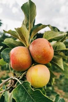 树上成熟苹果图片