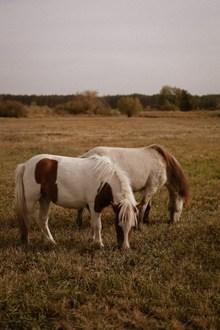 两只白马高清图片