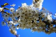 春天白色樱花盛开图片素材