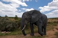 非洲野生大象写真图片